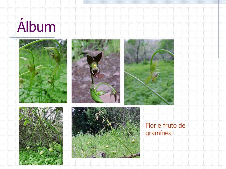 Álbum Flor e fruto de gramínea