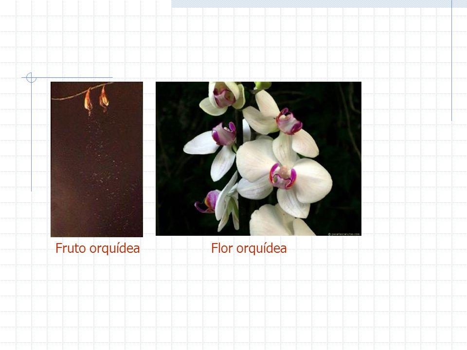 Fruto orquídeaFlor orquídea