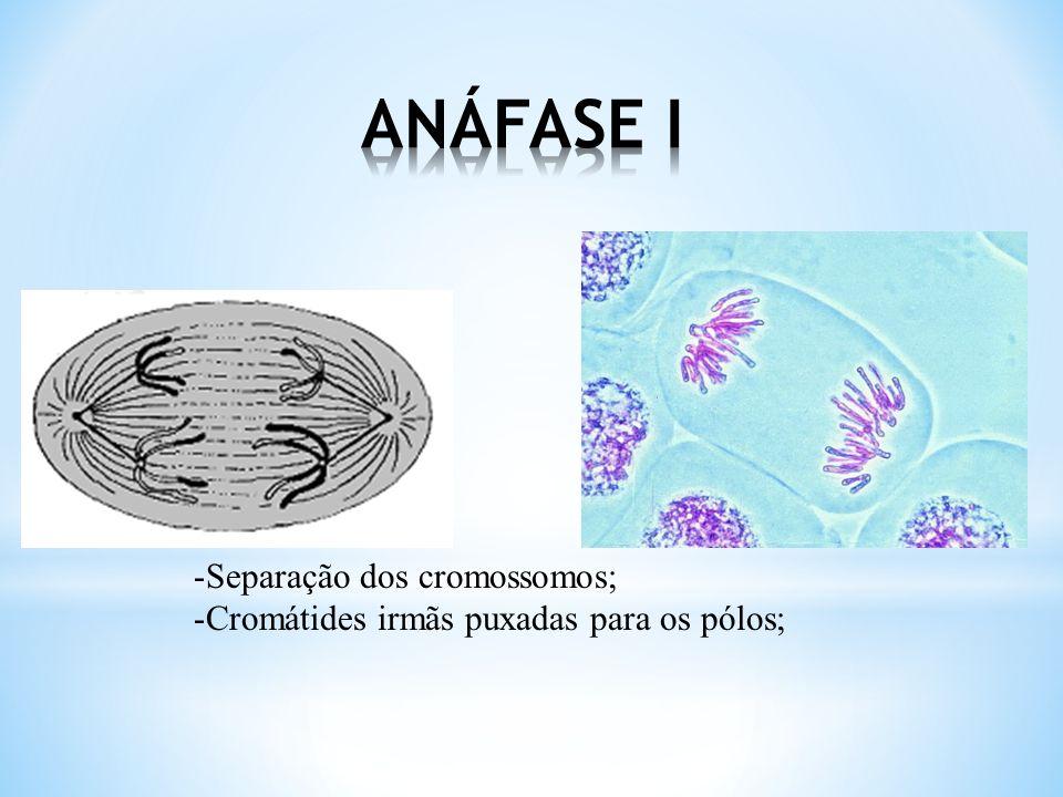 -Desaparecimento da membrana nuclear; -Formação do fuso; -Cromossomos alinhados;