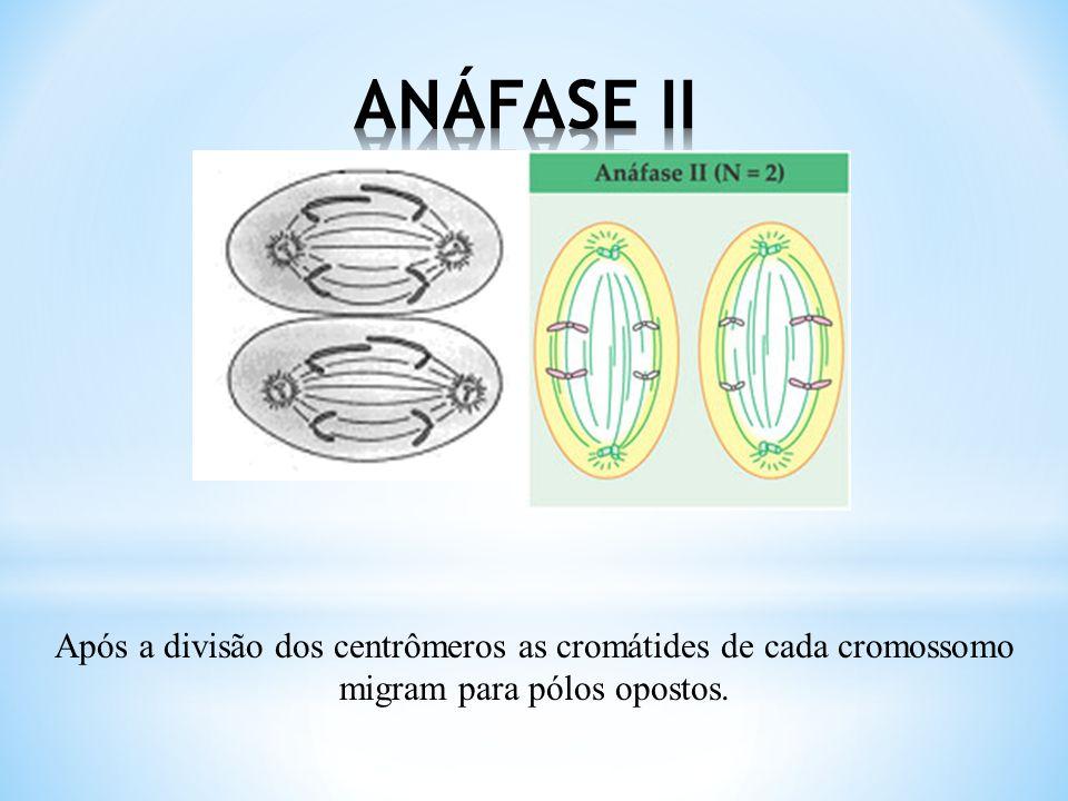 Os 23 cromossomos subdivididos em duas cromátides unidas por um centrômero prendem-se ao fuso.