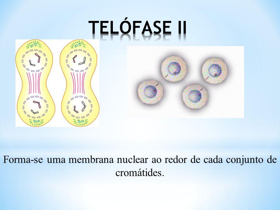 Após a divisão dos centrômeros as cromátides de cada cromossomo migram para pólos opostos.