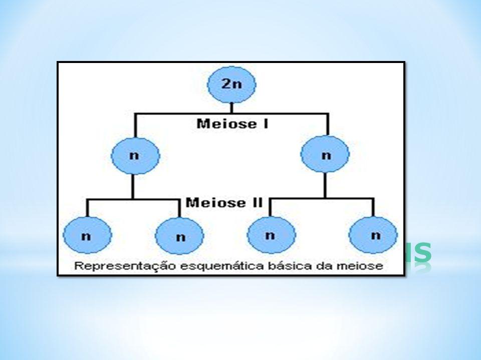 MEIOSE: CÉLULAS GAMÉTICAS MITOSE: CÉLULAS SOMÁTICAS MEIOSE: DUAS DIVISÕES CELULARES MITOSE: UMA DIVISÃO CELULAR MEIOSE: DIVISÃO REDUCIONALMITOSE: DIVISÃO EQUACIONAL MEIOSE: RESULTADO QUATRO CÉLULAS HAPLÓIDES DIFERENTES (permutação e segregação independente = Variabilidade genética) MITOSE: RESULTADO DUAS CÉLULAS DIPLÓIDES IGUAIS ( EXCETO POR MUTAÇÕES) MEIOSE: DURAÇÃO MAIS LONGA QUE A MITOSE VARIÁVEL, NO HOMEM 24 DIAS NA MULHER ATÉ ANOS