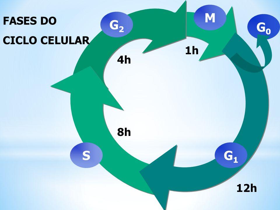 CICLO CELULAR Consiste em duas etapas: Interfase Aquela compeendida entre duas divisões, em que a célula cresce e se prepara para nova divisão.