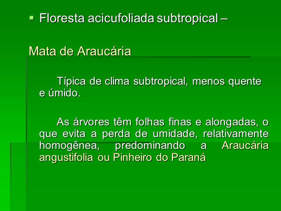 Floresta acicufoliada subtropical – Floresta acicufoliada subtropical – Mata de Araucária Típica de clima subtropical, menos quente e úmido. As árvore
