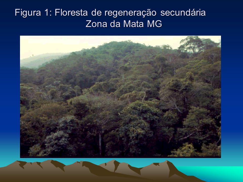Figura 1: Floresta de regeneração secundária Zona da Mata MG