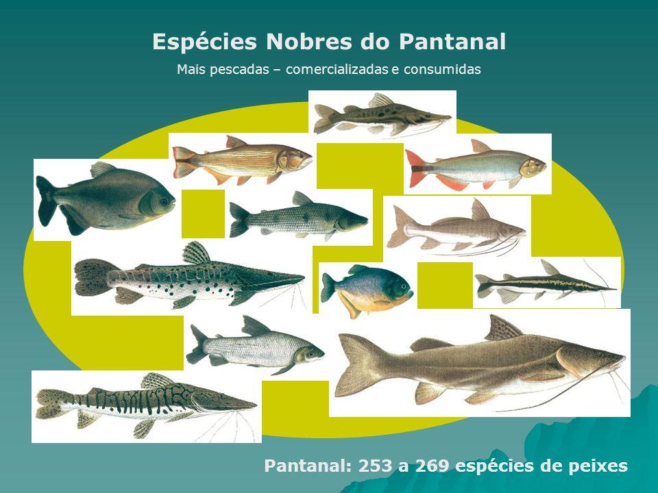Espécies Nobres do Pantanal Mais pescadas – comercializadas e consumidas Pantanal: 253 a 269 espécies de peixes