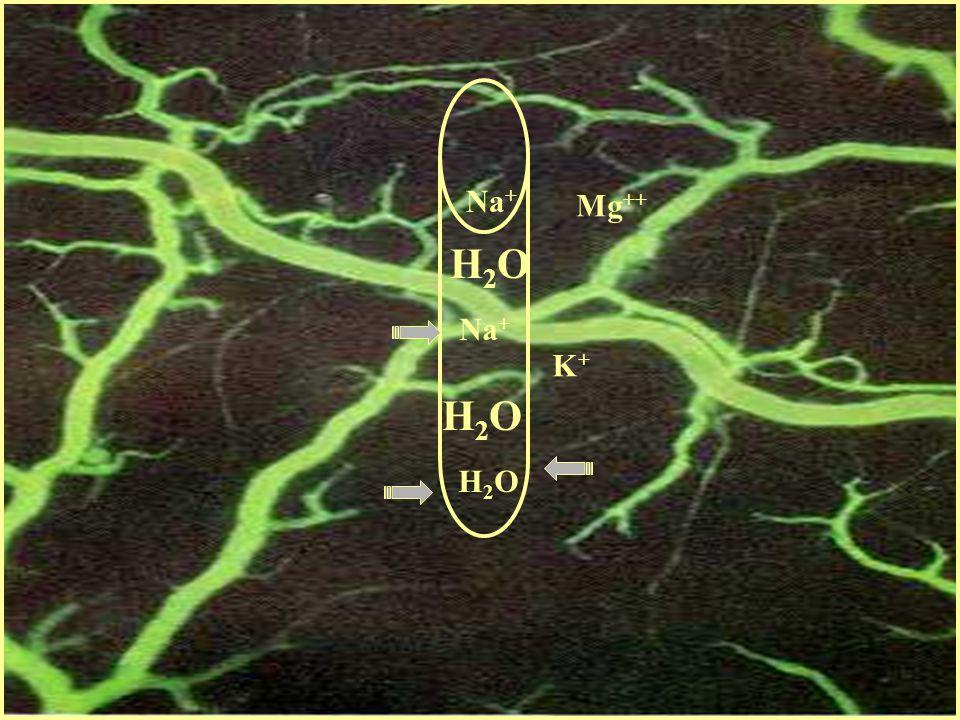 Na + Mg ++ EDEMA ICC H2OH2O H2OH2O H2OH2O K+K+ H2OH2O H2OH2O Na +