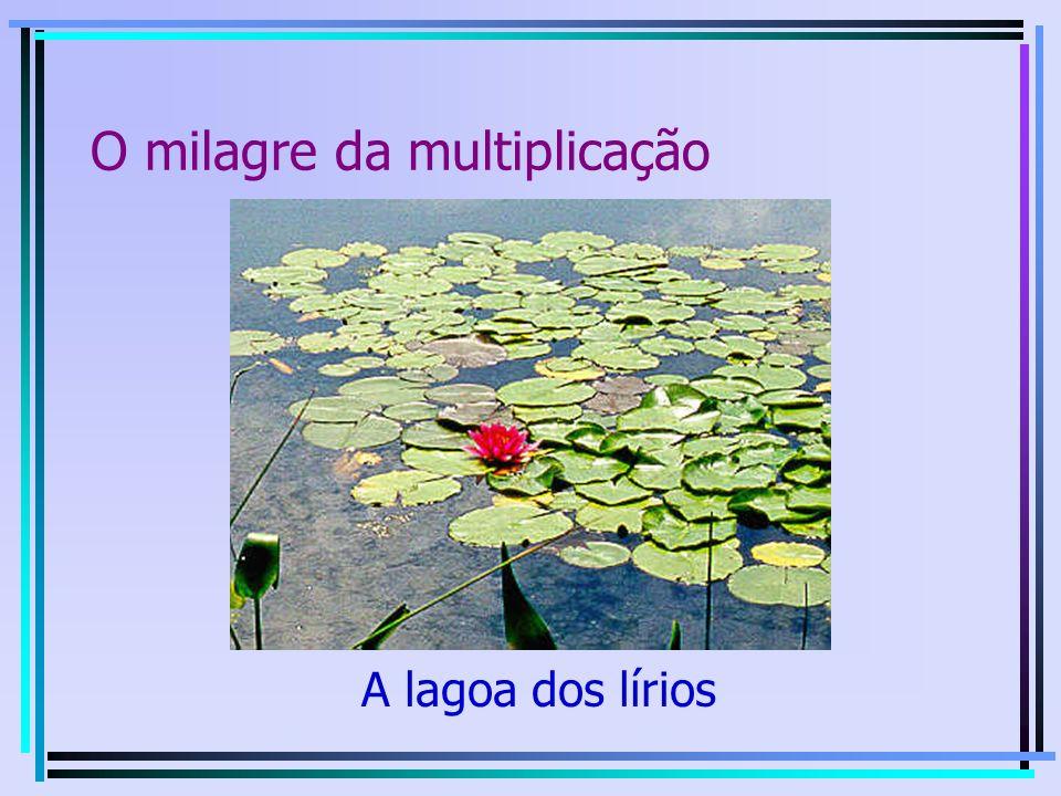 O milagre da multiplicação » A lagoa dos lírios