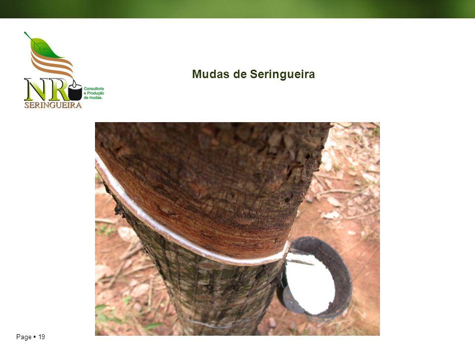 Page 19 Mudas de Seringueira