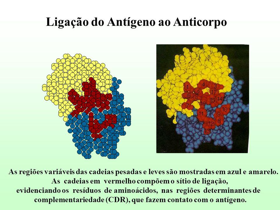 Ligação do Antígeno ao Anticorpo As regiões variáveis das cadeias pesadas e leves são mostradas em azul e amarelo. As cadeias em vermelho compõem o sí