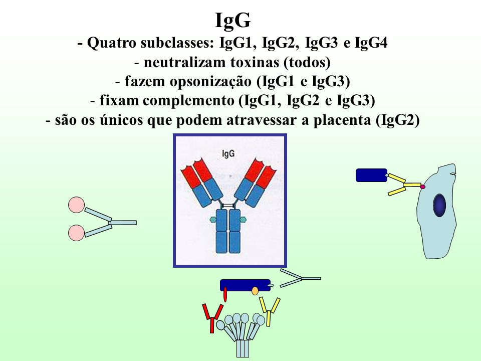 IgG - Quatro subclasses: IgG1, IgG2, IgG3 e IgG4 - neutralizam toxinas (todos) - fazem opsonização (IgG1 e IgG3) - fixam complemento (IgG1, IgG2 e IgG
