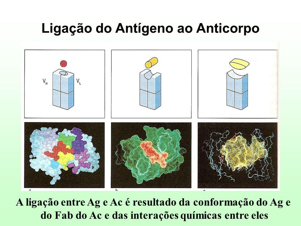 Ligação do Antígeno ao Anticorpo A ligação entre Ag e Ac é resultado da conformação do Ag e do Fab do Ac e das interações químicas entre eles