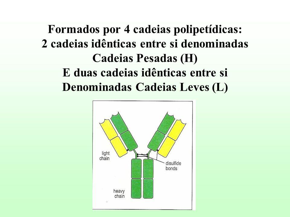 Formados por 4 cadeias polipetídicas: 2 cadeias idênticas entre si denominadas Cadeias Pesadas (H) E duas cadeias idênticas entre si Denominadas Cadei