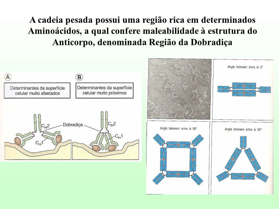 A cadeia pesada possui uma região rica em determinados Aminoácidos, a qual confere maleabilidade à estrutura do Anticorpo, denominada Região da Dobrad