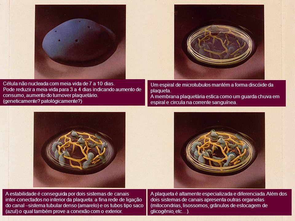 Célula não nucleada com meia-vida de 7 a 10 dias. Pode reduzir a meia-vida para 3 a 4 dias indicando aumento de consumo, aumento do turnover plaquetár