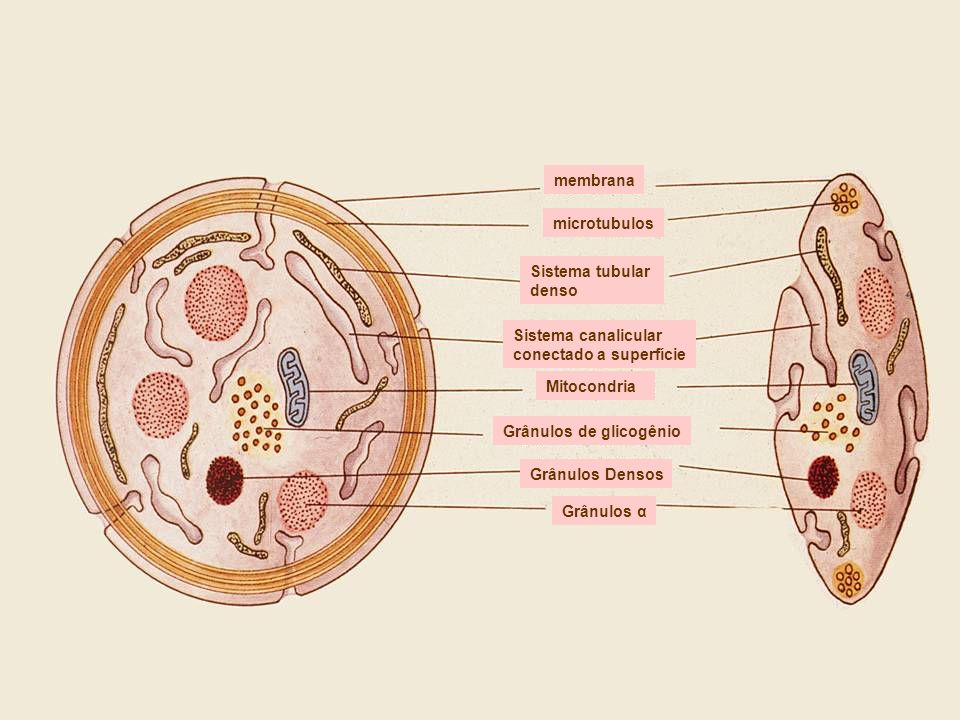 membrana microtubulos Sistema tubular denso Sistema canalicular conectado a superfície Mitocondria Grânulos de glicogênio Grânulos Densos Grânulos α