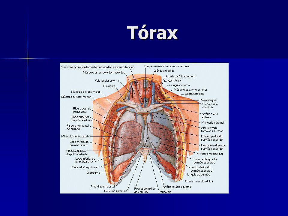 zona de condução: até bronquíolos terminais zona de condução: até bronquíolos terminais zona de transição: até bronquíolos respiratórios zona de transição: até bronquíolos respiratórios zona respiratória: ductos e sacos alveolares zona respiratória: ductos e sacos alveolares