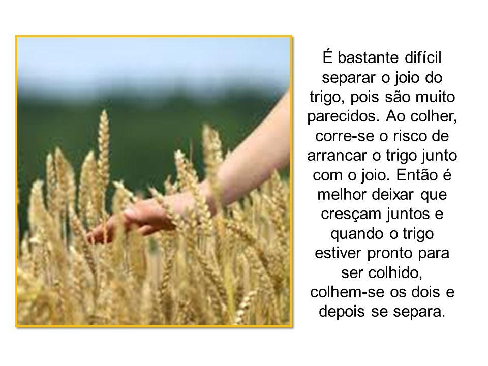 É bastante difícil separar o joio do trigo, pois são muito parecidos. Ao colher, corre-se o risco de arrancar o trigo junto com o joio. Então é melhor