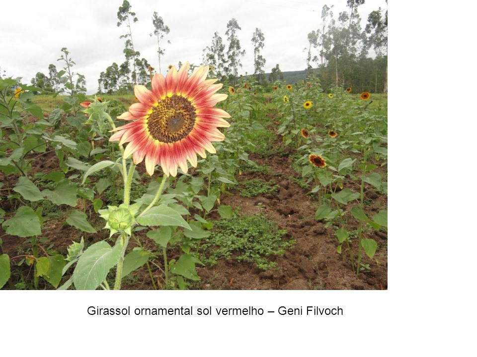 Girassol ornamental sol vermelho – Geni Filvoch