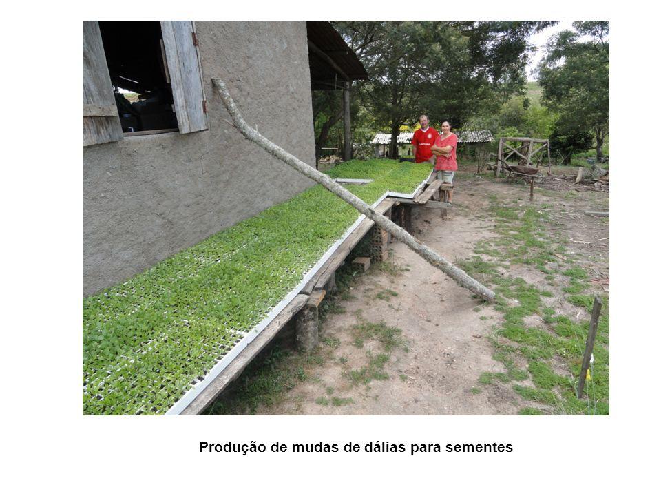 Produção de mudas de dálias para sementes