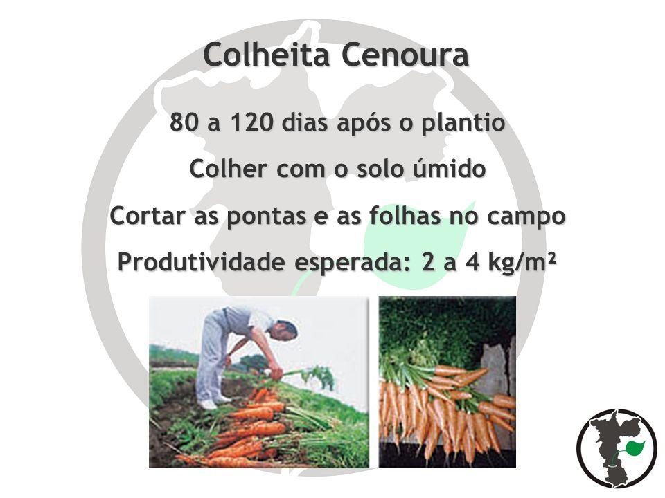 Colheita Cenoura 80 a 120 dias após o plantio Colher com o solo úmido Cortar as pontas e as folhas no campo Produtividade esperada: 2 a 4 kg/m²