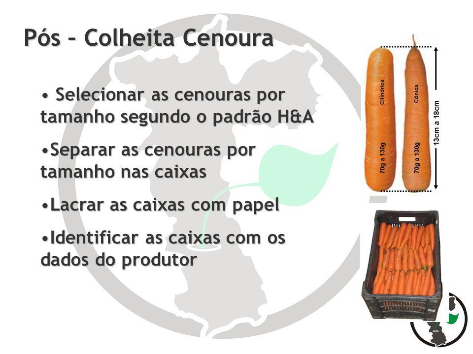 Pós – Colheita Cenoura Selecionar as cenouras por tamanho segundo o padrão H&A Selecionar as cenouras por tamanho segundo o padrão H&A Separar as ceno