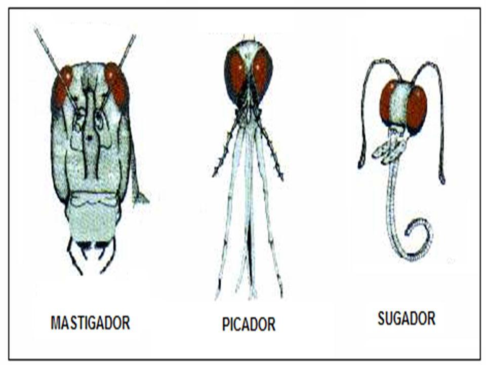 APARELHO BUCAL MASTIGADOR – GAFANHOTOS / BARATAS SUGADOR – BORBOLETAS/ MARIPOSAS SUGADOR NÃO-PICADOR - MOSCA SUGADOR PICADOR – PULGA/BARBEIRO LAMBEDOR