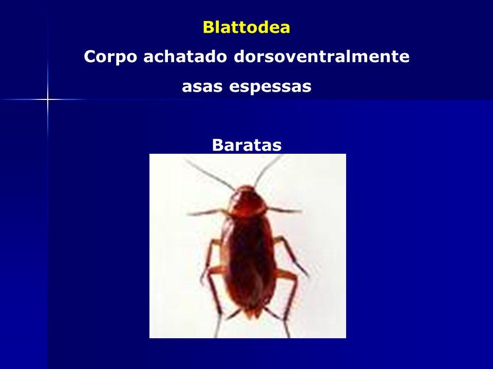 Odonata Dentes mandibulares Adultos c/ 4 asas membranosas Libélulas