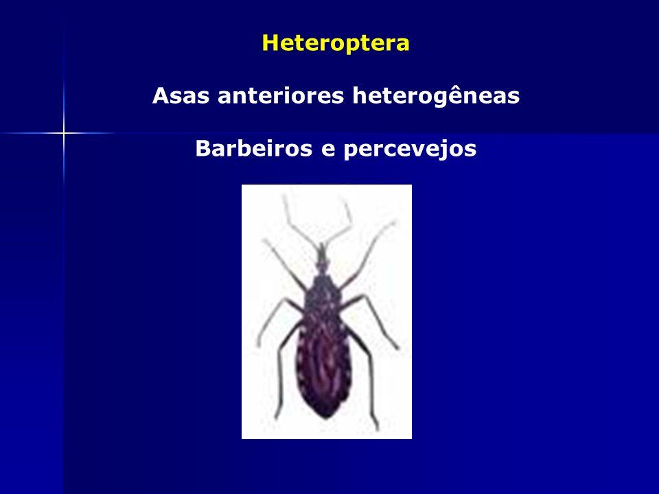 Phthiraptera Ectoparasitas Asas espessas na base Piolhos