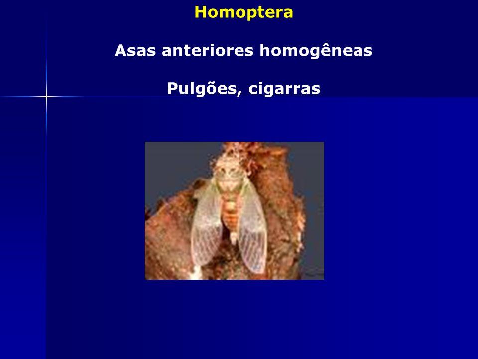 Heteroptera Asas anteriores heterogêneas Barbeiros e percevejos