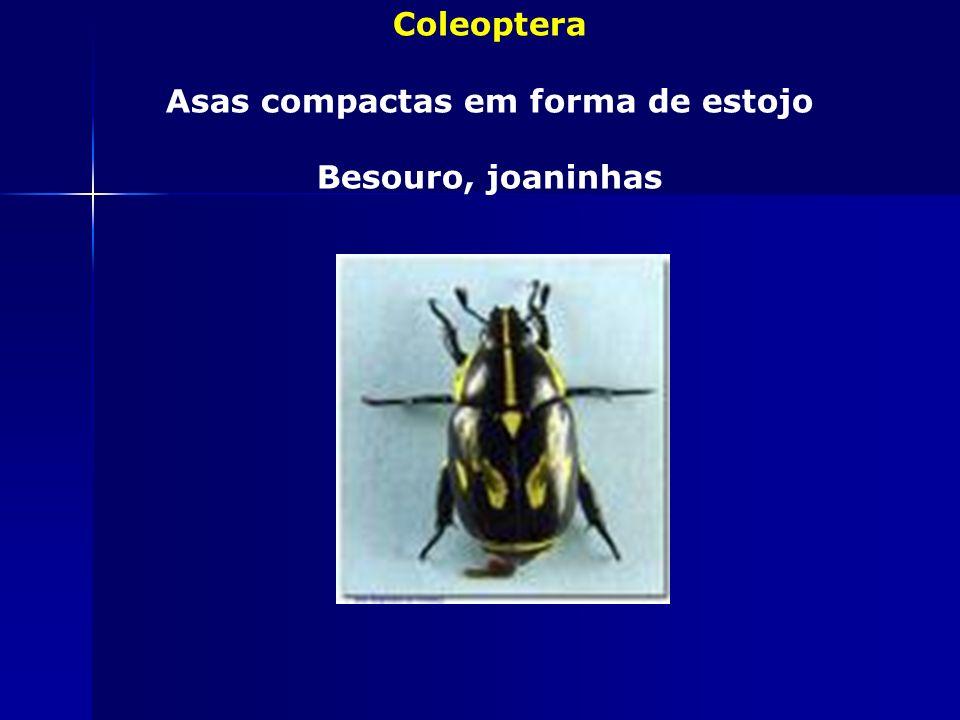 Homoptera Asas anteriores homogêneas Pulgões, cigarras