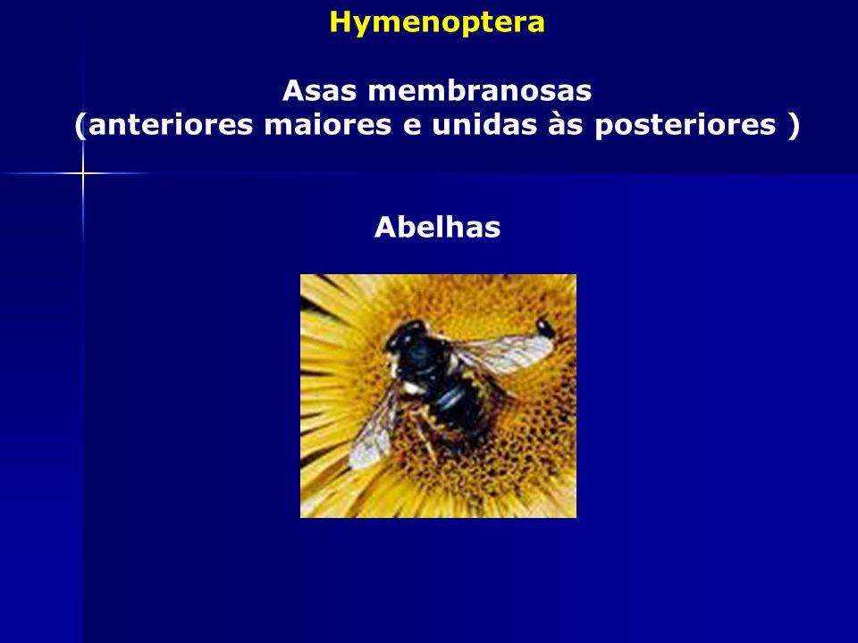 Coleoptera Asas compactas em forma de estojo Besouro, joaninhas