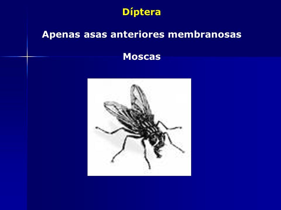 Hymenoptera Asas membranosas (anteriores maiores e unidas às posteriores ) Abelhas