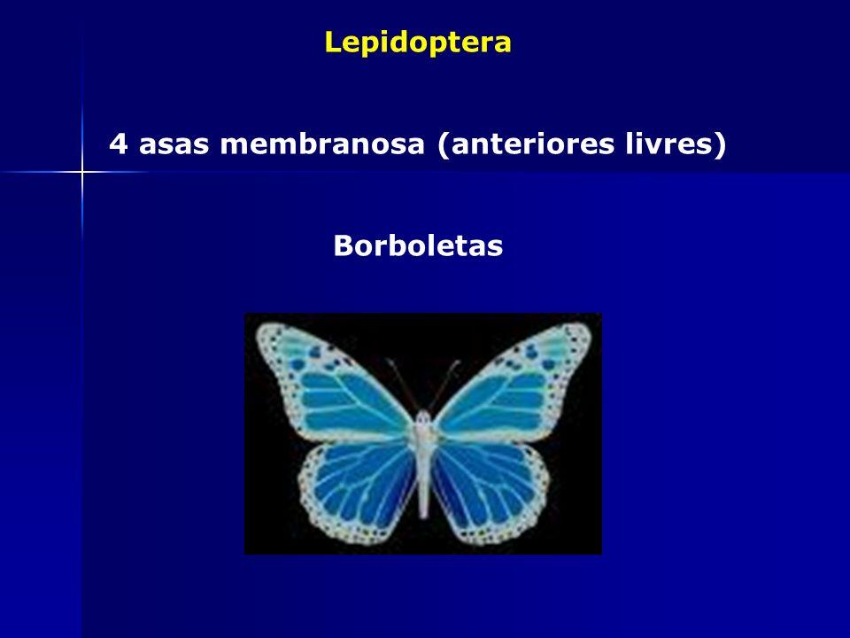 Siphonaptera Ectoparasitas, holometábolos pulga-do-rato, bicho –do-pé