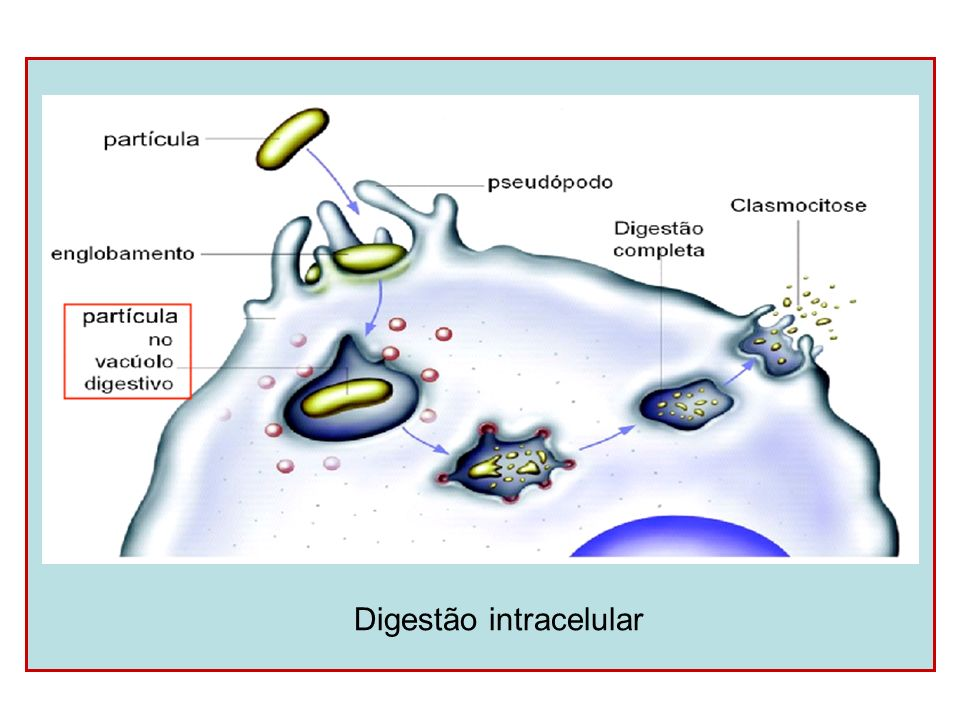 Digestão intracelular