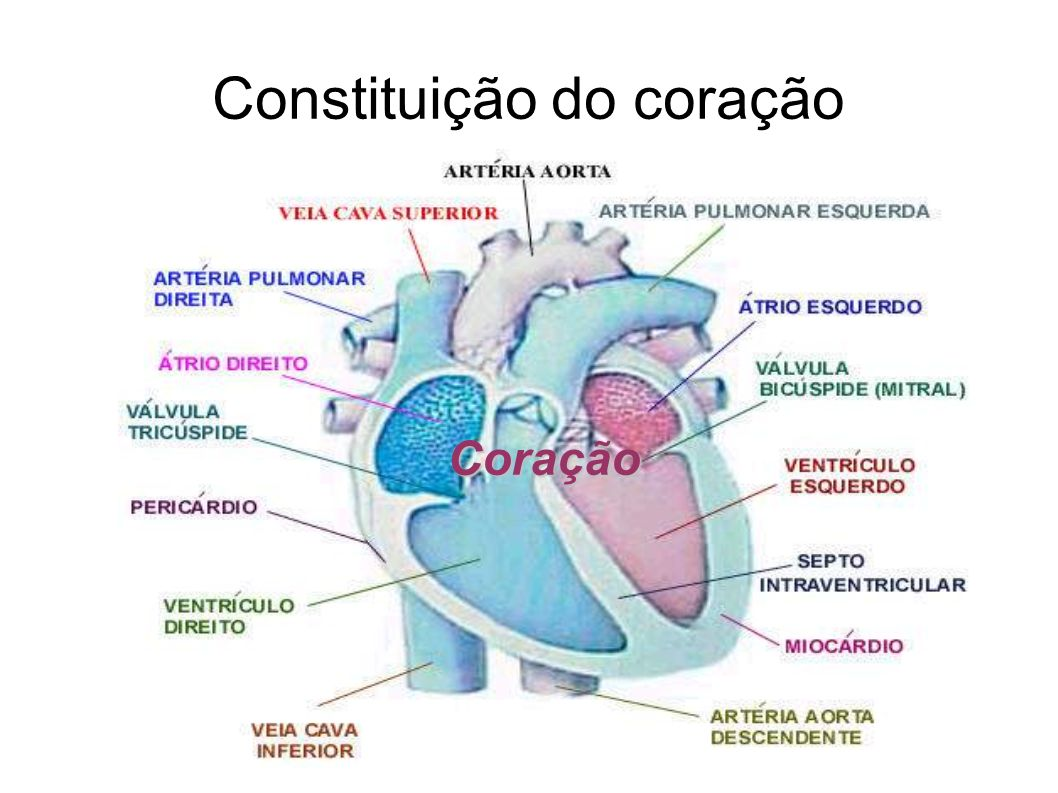 Constituição do coração Coração