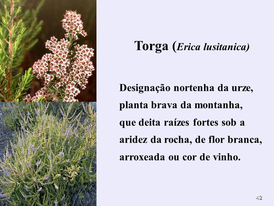 42 Torga ( Erica lusitanica) Designação nortenha da urze, planta brava da montanha, que deita raízes fortes sob a aridez da rocha, de flor branca, arr