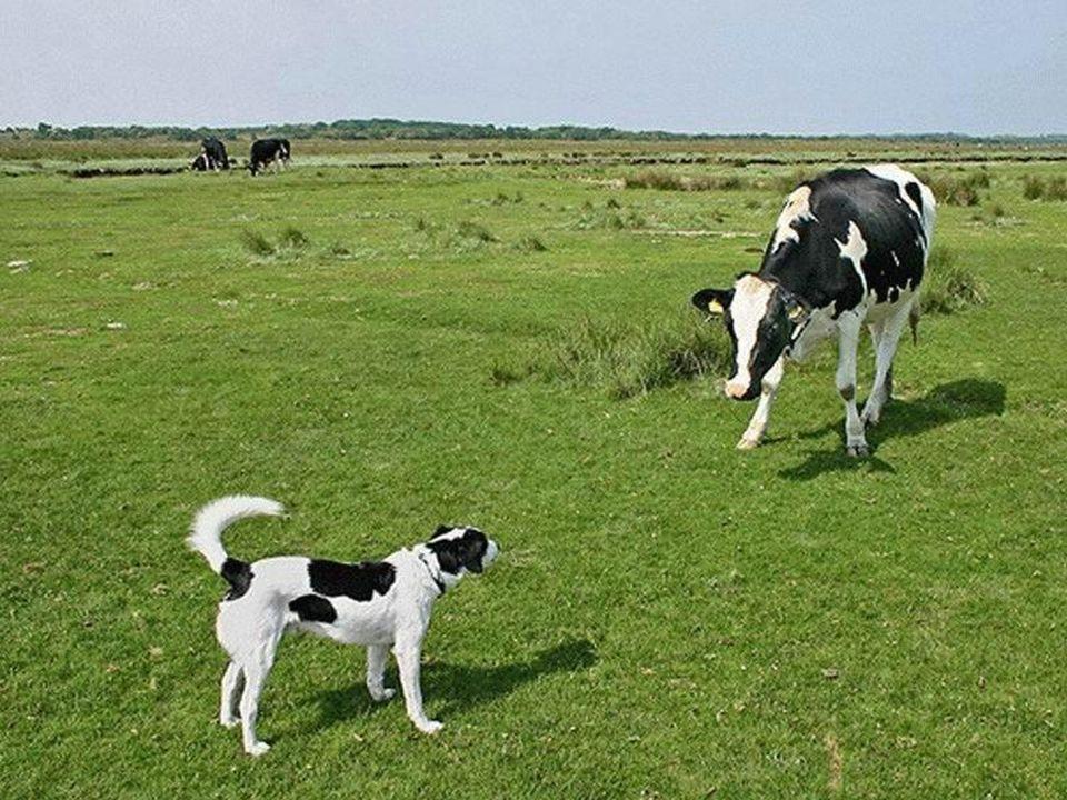 Cão ou vaca?