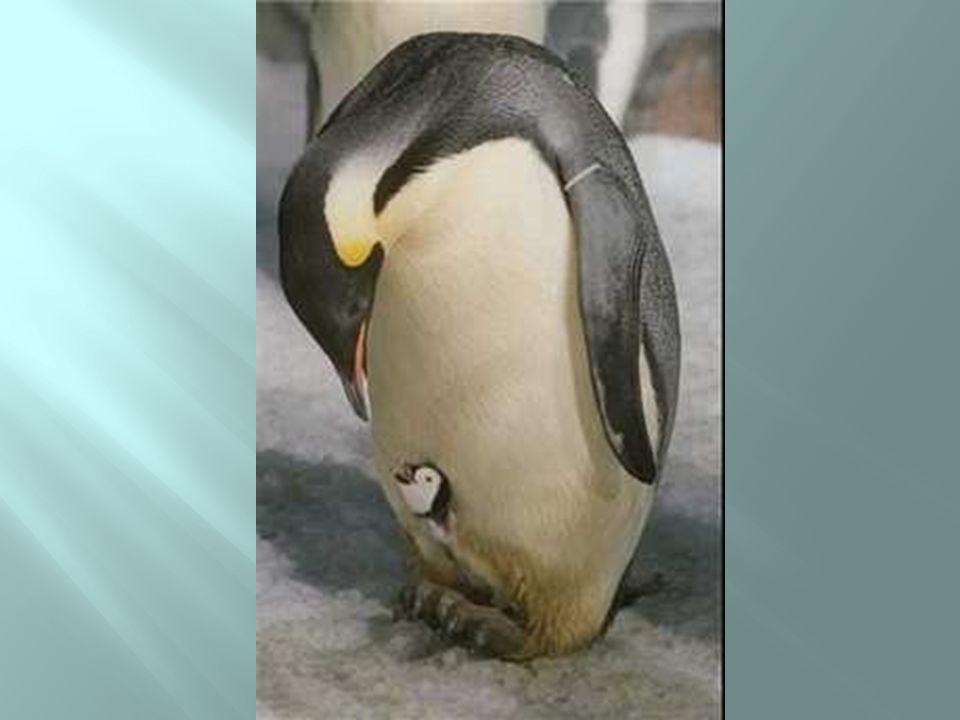 Pinguim ou canguru?