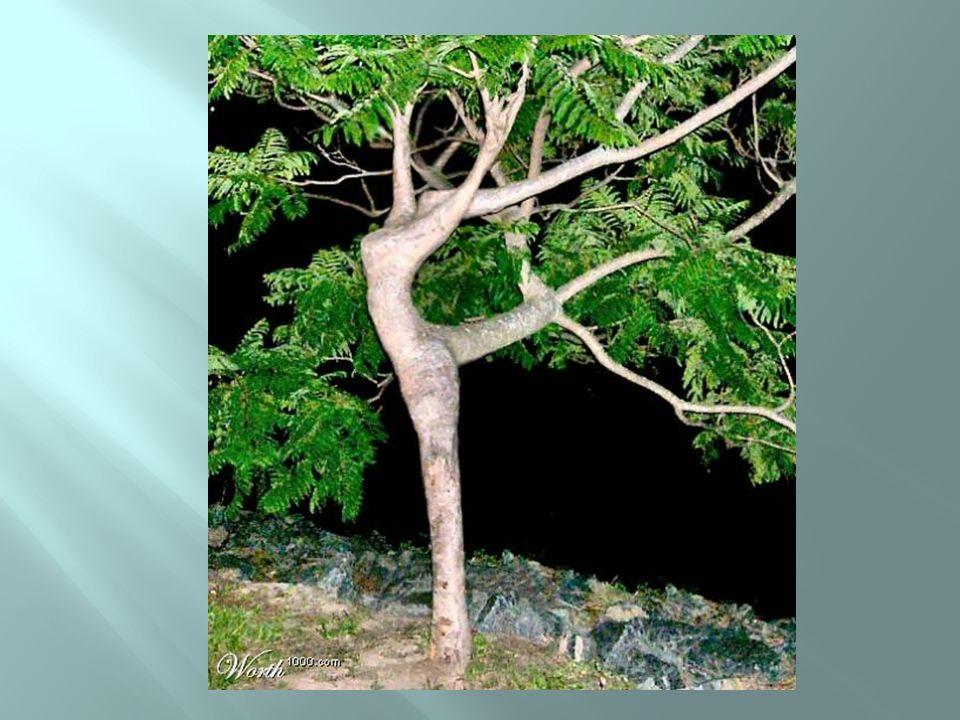 Árvore ou bailarina?