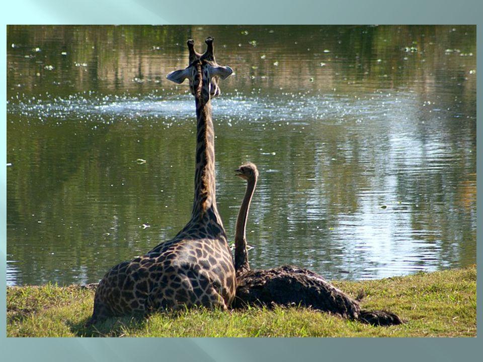 Girafa ou avestruz?