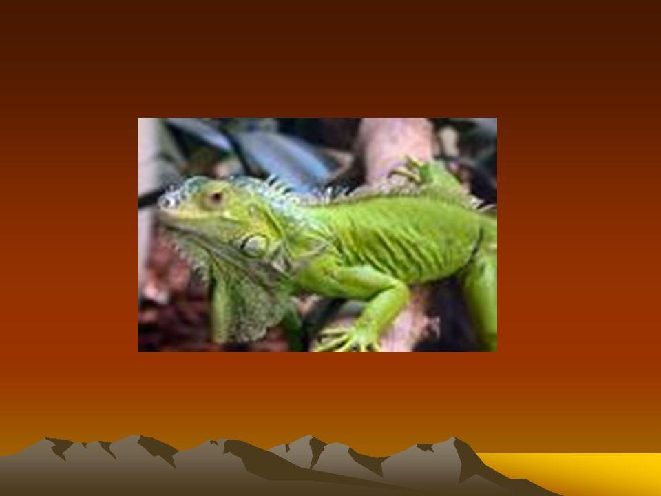 O iguana da espécie Iguana iguana, também chamado de iguana- verde, é um dos répteis mais criados em cativeiro.