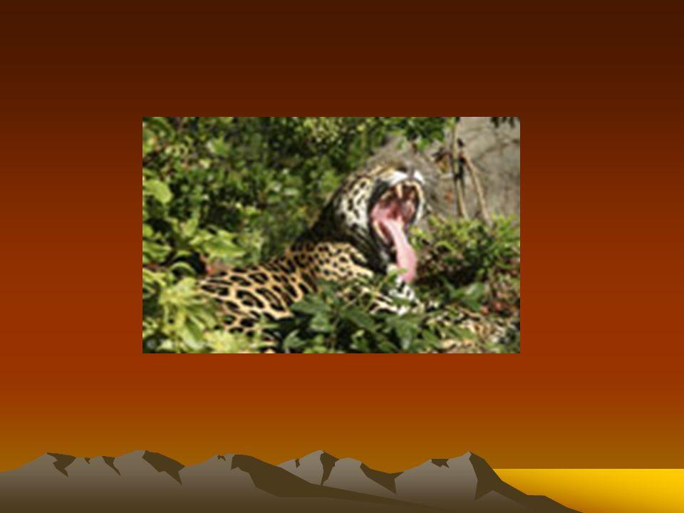 A onça-pintada (Panthera onca), também conhecida por jaguar ou jaguaretê, é um mamífero da ordem dos carnívoros, membro da família dos felinos, encontrada nas regiões quentes e temperadas do continente americano e é também o símbolo nacional do Brasil.