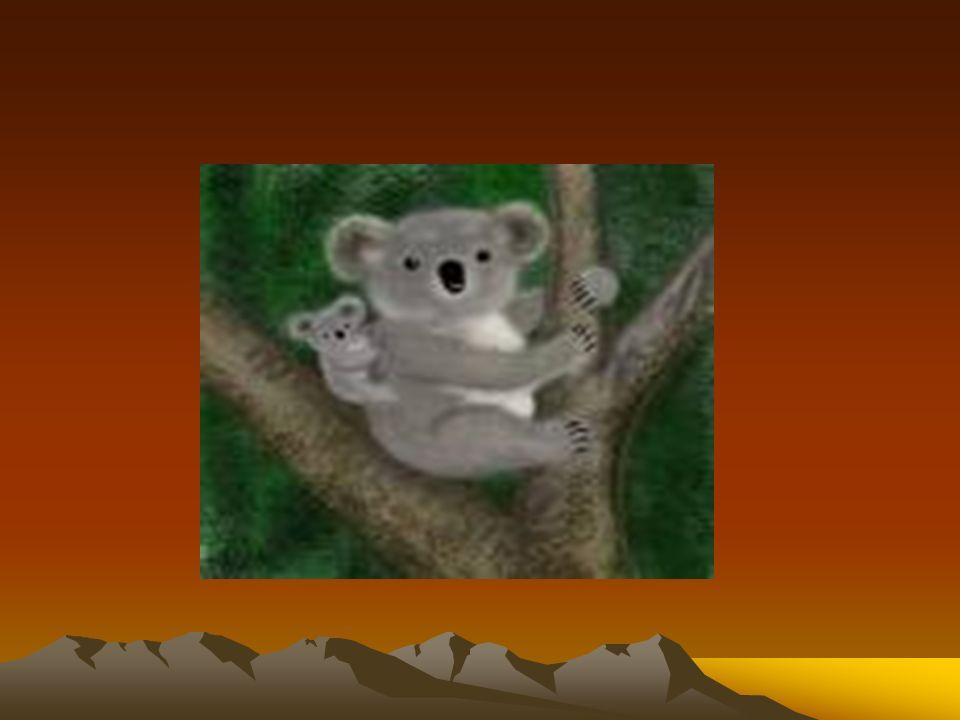 O Koala é um dos animais mais procurados e que mais curiosidade desperta nas pessoas.
