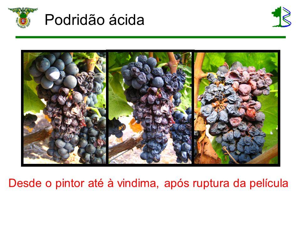Medidas tecnológicas e conceito Qualidade da uva Até pode nem ser má, pelo efeito de concentração Fermentação Crítica – assegurar fim de fermentação Maceração O mais reduzida possível