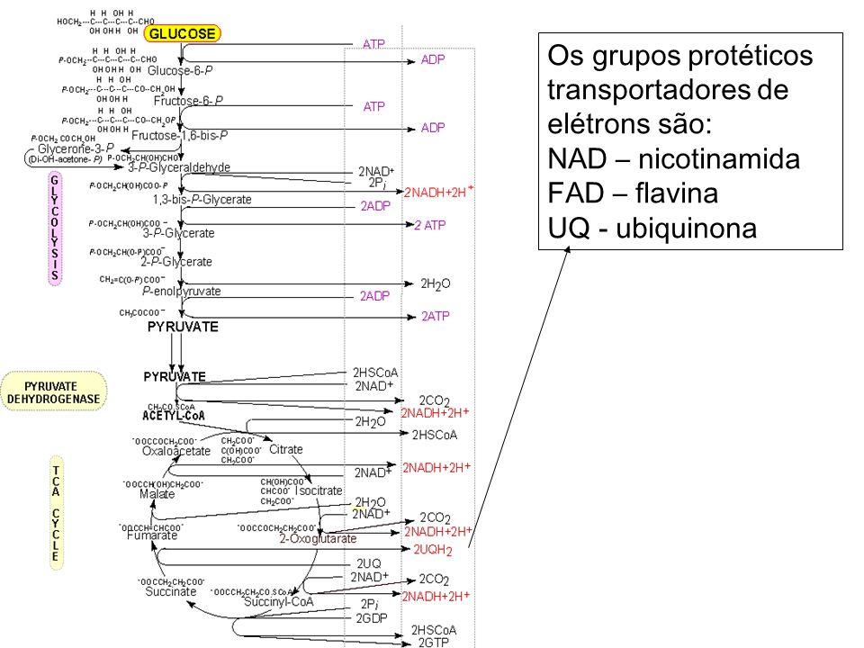 Os grupos protéticos transportadores de elétrons são: NAD – nicotinamida FAD – flavina UQ - ubiquinona