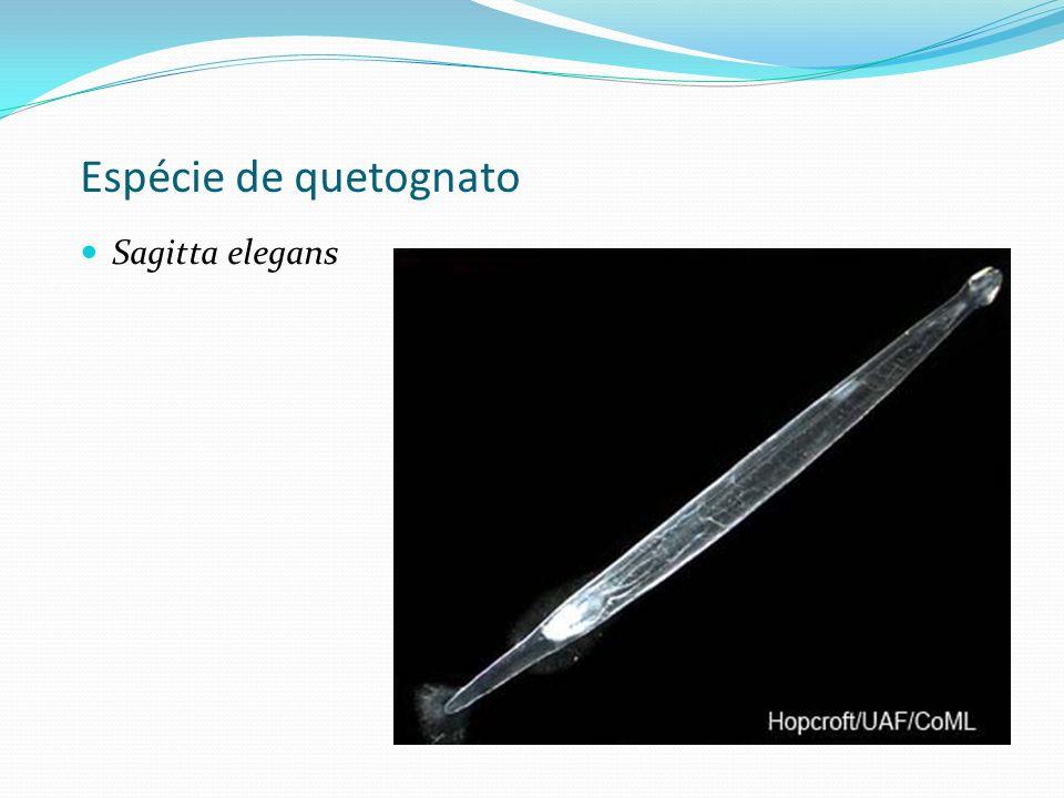 Espécie de quetognato Sagitta elegans