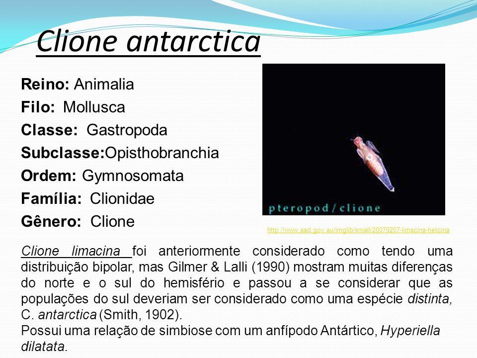 Clione antarctica Reino: Animalia Filo: Mollusca Classe: Gastropoda Subclasse:Opisthobranchia Ordem: Gymnosomata Família: Clionidae Gênero: Clione htt