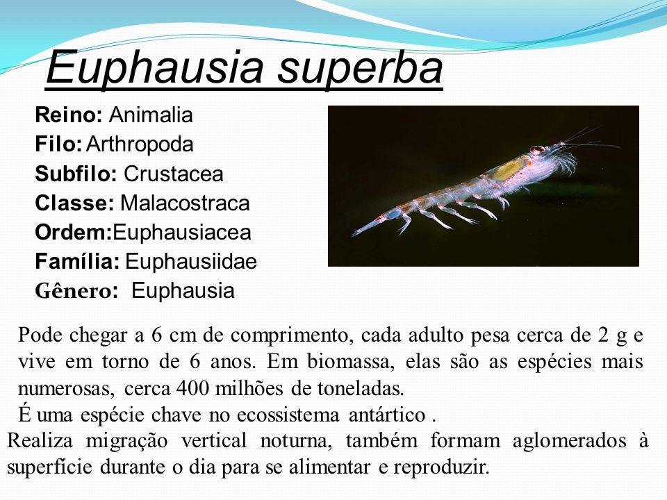 Euphausia superba Reino: Animalia Filo: Arthropoda Subfilo: Crustacea Classe: Malacostraca Ordem:Euphausiacea Família: Euphausiidae Gênero : Euphausia