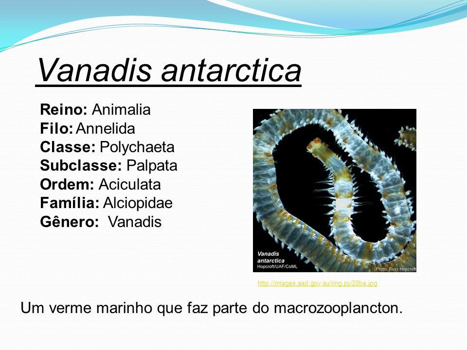 Vanadis antarctica Reino: Animalia Filo: Annelida Classe: Polychaeta Subclasse: Palpata Ordem: Aciculata Família: Alciopidae Gênero: Vanadis Um verme